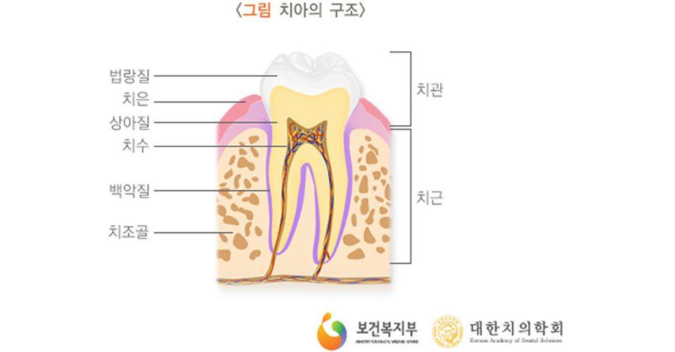 치아-구조